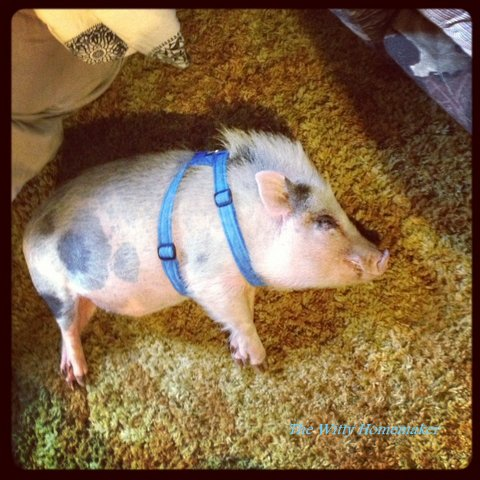 Mini Pig Lovers Love Piggear Todays Work At Home Mom